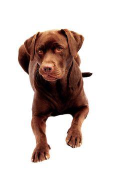 Free Chocolate Labrador Royalty Free Stock Image - 7973806