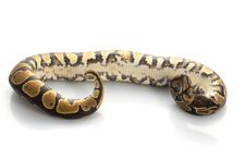 Free Yellow Belly Ball Python Royalty Free Stock Photography - 7974037