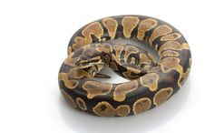 Free Yellow Belly Ball Python Royalty Free Stock Photo - 7974045