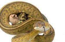 Free Scrub Python Stock Images - 7974094