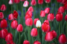 Free Tulip Royalty Free Stock Photography - 7974647