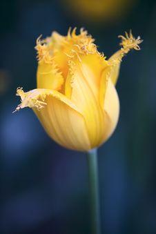Free Tulip Stock Images - 7974654