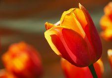 Free Tulip Stock Images - 7974674