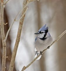 Free Blue Jay Royalty Free Stock Photography - 7975427