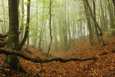 Free Forest In Fog Stock Photo - 7975740