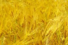 Free Wheat Royalty Free Stock Images - 7975879