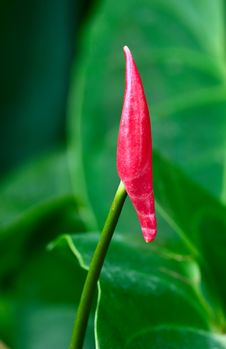 Free Anthurium Stock Image - 7976161