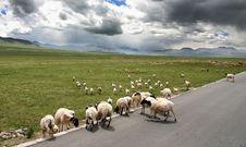 Free Roaming Sheep Stock Image - 7976611