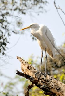 Free White Egret Royalty Free Stock Images - 7977639