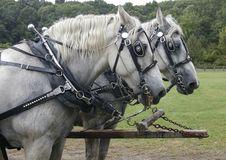 Free Work Horses Royalty Free Stock Photo - 7978005