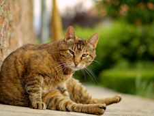 Free Brown Cat Royalty Free Stock Photography - 7978247