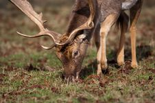 Free Red Deer Stag Royalty Free Stock Photo - 7978275