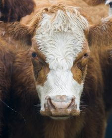 Free Cow Stock Photo - 7978320
