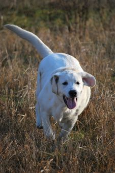 Running Golden Labrador Retriever Stock Images