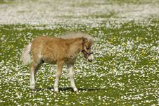 Free Young Horse Meadow With Many Flowers Stock Photography - 7978652