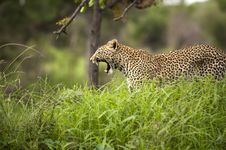 Free Leopard In Kruger Park Stock Images - 7978824