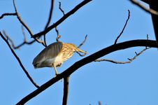 Free Black Crowned Heron Stock Photo - 7979110