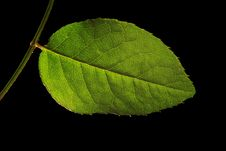 Free Green Leaf Isolated On Black Royalty Free Stock Photography - 7979877