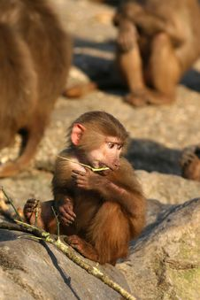 Free Little Baboon Monkey Eating Royalty Free Stock Photo - 7979895