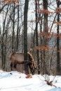 Free Bull Elk Royalty Free Stock Image - 7981346
