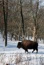 Free Buffalo Royalty Free Stock Photography - 7981457