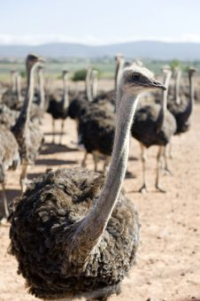 Ostrich Of South Africa Royalty Free Stock Photo