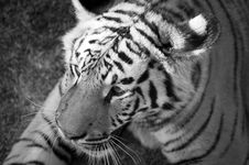 Young Male Tiger Royalty Free Stock Photography