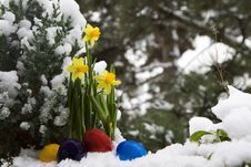 Easter Eggs And Narcissus In The Snow Stock Images