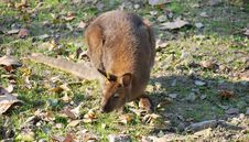 Eastern Grey Kangaroo Stock Photos