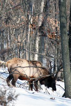 Free Bull Elk Stock Photo - 7981560
