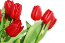 Free Red Isolated Tulips Stock Photos - 7982303