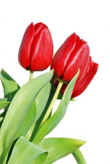 Free Red Isolated Tulips Stock Images - 7982314