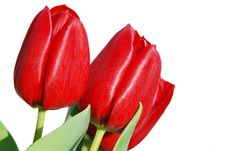 Free Red Isolated Tulips Royalty Free Stock Images - 7982329