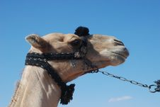 Free Camel Royalty Free Stock Photography - 7982367