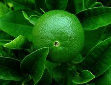Free Green Orange Royalty Free Stock Photo - 7982405