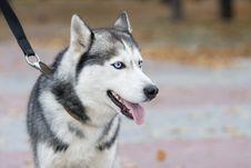 Free Husky Royalty Free Stock Photos - 7982408