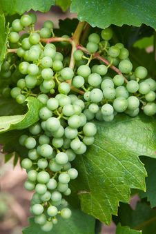 Free Green Grape Stock Photography - 7982502