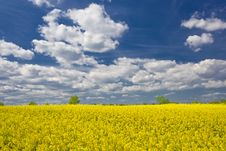 Free Rape Field Landscape Royalty Free Stock Photography - 7982617