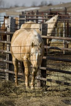 Free Caged Horses Royalty Free Stock Photo - 7983105