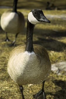Free Canada Goose Looks Me In The Eye Royalty Free Stock Photo - 7983395