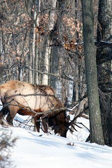 Free Bull Elk Stock Photo - 7984070