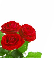 Free Beautiful Roses On A White Background With Space F Royalty Free Stock Photography - 7984187