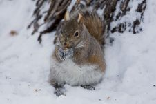 Free Squirrel Royalty Free Stock Image - 7984446