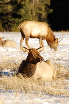 Free Elks On The Snow Royalty Free Stock Photography - 7985197
