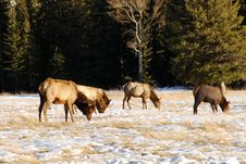 Free Elks On The Snow Royalty Free Stock Photos - 7985228