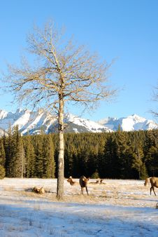 Free Elks On The Snow Stock Image - 7985301