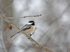Free Black-capped Chickadee Royalty Free Stock Images - 7987329