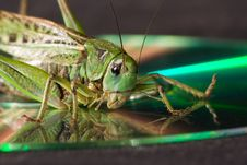 Free Grasshopper Royalty Free Stock Photos - 7987458