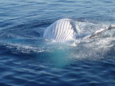 Free Belly Humpback Whale Stock Photos - 7988203
