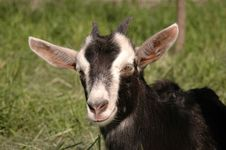 Free Goatling Portrait Royalty Free Stock Images - 7988439